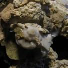 Xenophora pallidula 4 - Attachment