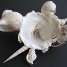 Xenophora pallidula 5 - basal