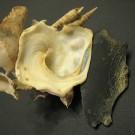 Xenophora pallidula 7 - basal