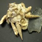 Xenophora pallidula 7 - schräg