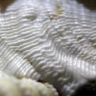 Xenophora pallidula 8 - Skulptur