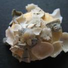 Xenophora senegalensis apikal 2