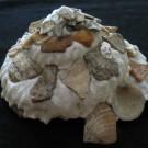 Xenophora tenuis 1 - schräg