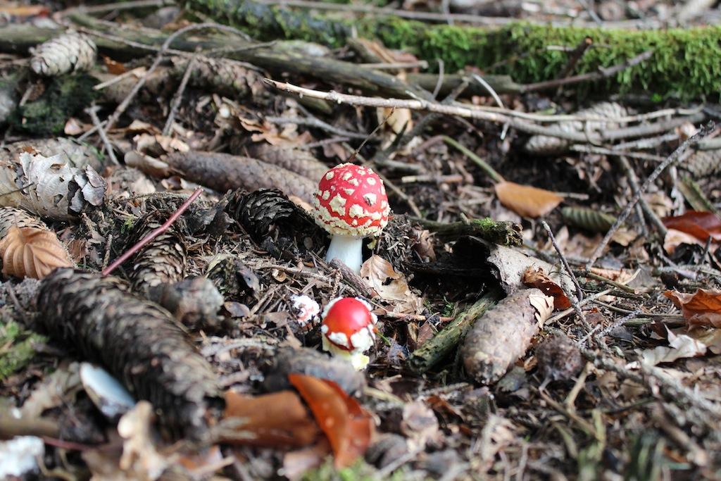 Kleine Fliegenpilze im Odenwald