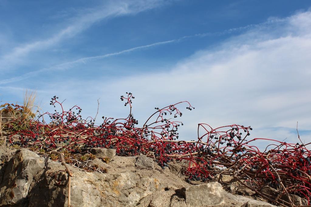 Mauer mit Beeren in Grünsfeld