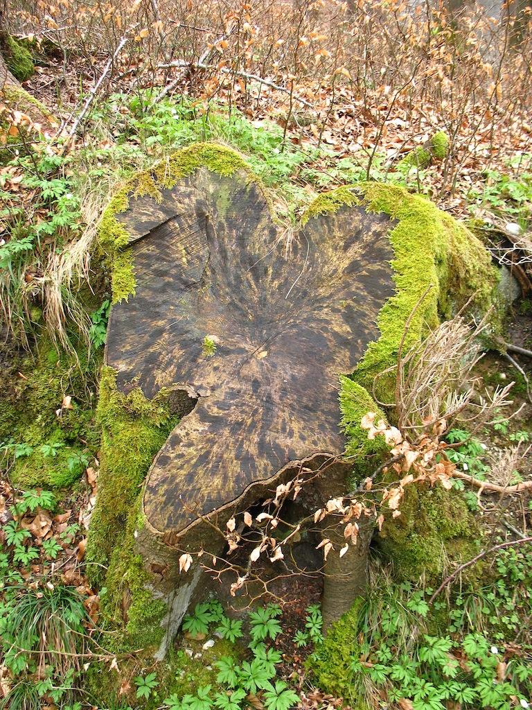Herzförmiger Baumquerschnitt an der Mangfall