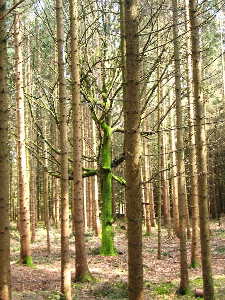 Ein bemooster Baumstamm zwischen vielen unbemoosten, Wald in Siegertsbrunn