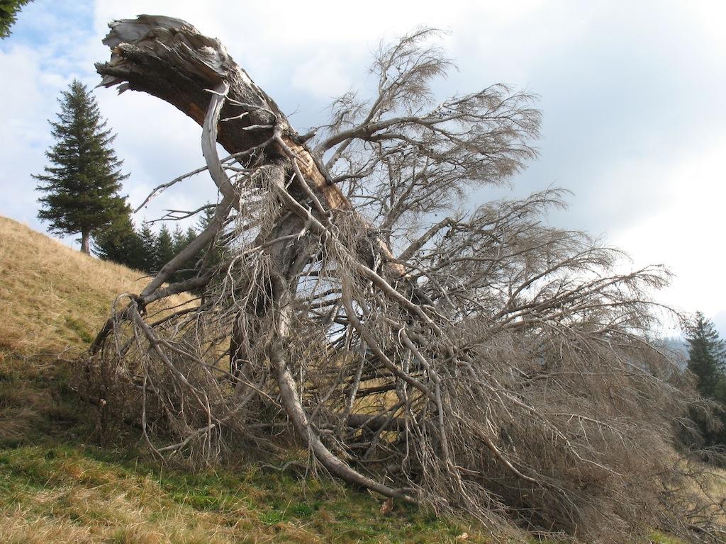 Toter Baum auf den Drei Hörnle