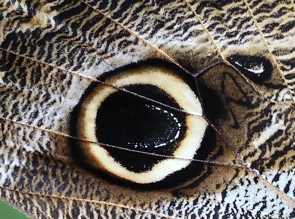 Bananenfalter (Caligo eurilochus) Detail