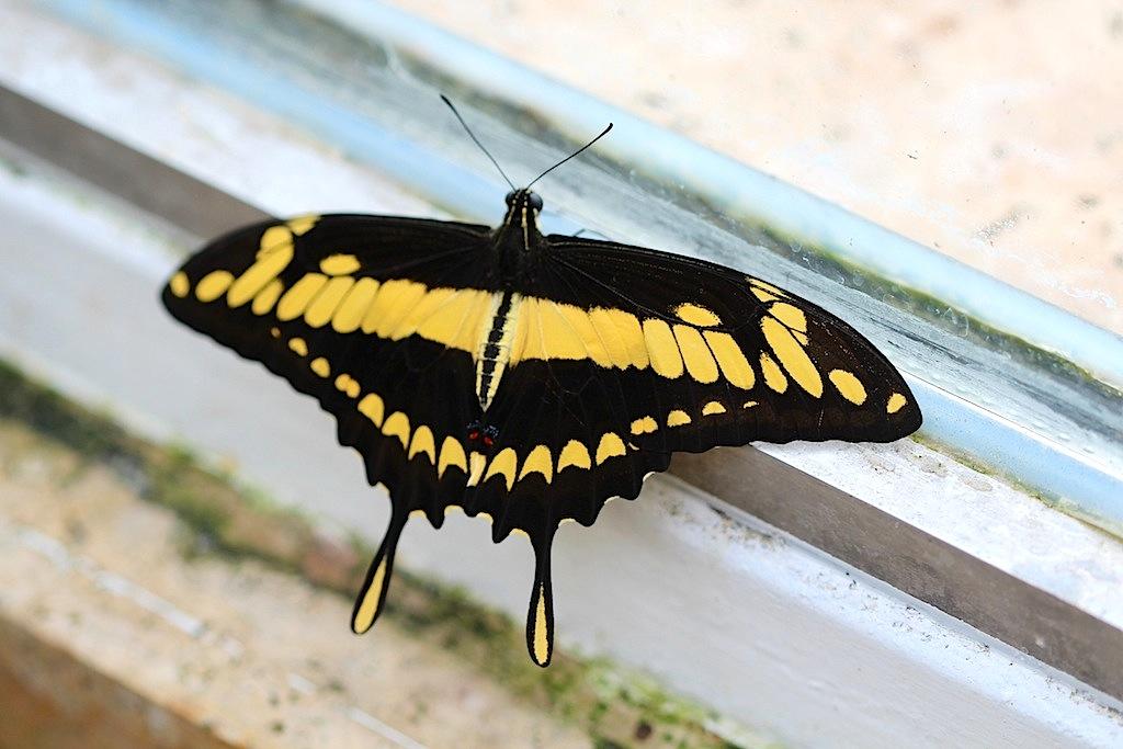 Brasilianischer Schwalbenschwanz (Papilio thoas)