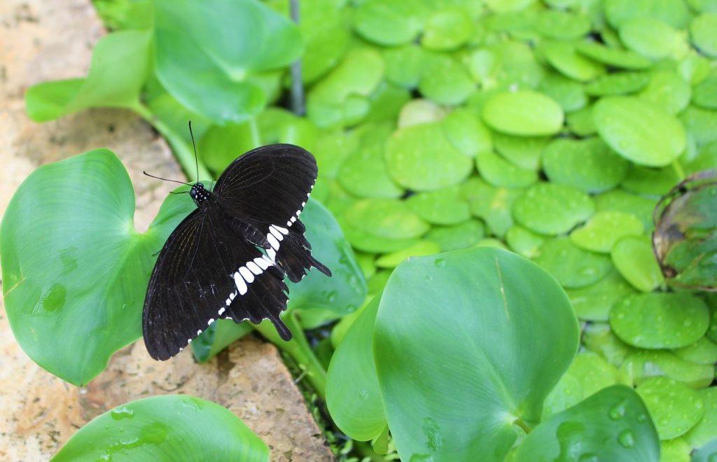 Common Mormon Butterfly (Papilio polytes)