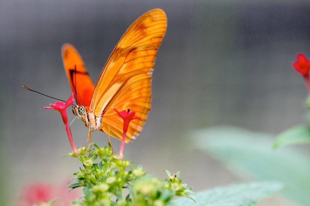 Fackel:Juliafalter (Dryas iulia ) aus Südamerika2