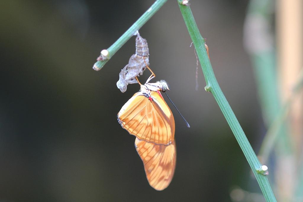 Fackel:Juliafalter (Dryas iulia ) aus Südamerika
