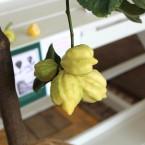 Birnenförmig gefurchte Zitrone