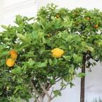Chinesische Zedrat-Zitrone