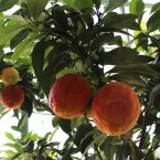 Rot pigmentierte Zitrone