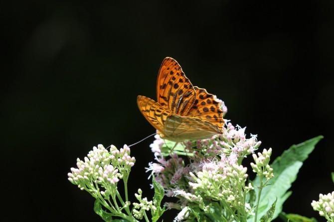 Kaisermantel (Argynnis (Argynnis) paphia)