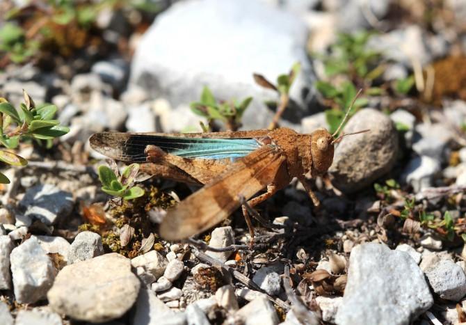 Blauflügelige Ödlandschrecke (Oedipoda caerulescens)