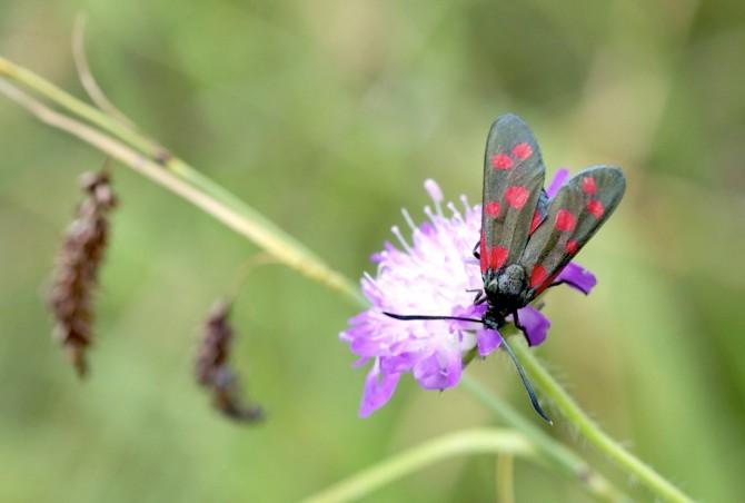 Sechsfleck-Rotwidderchen (Zygaena filipendulae)