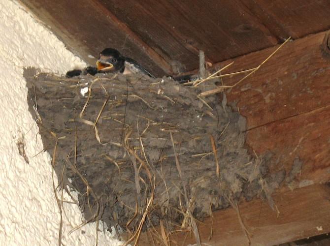 Schwalbenkind im Nest