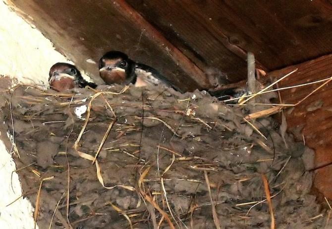 Schwalbenkinder im Nest