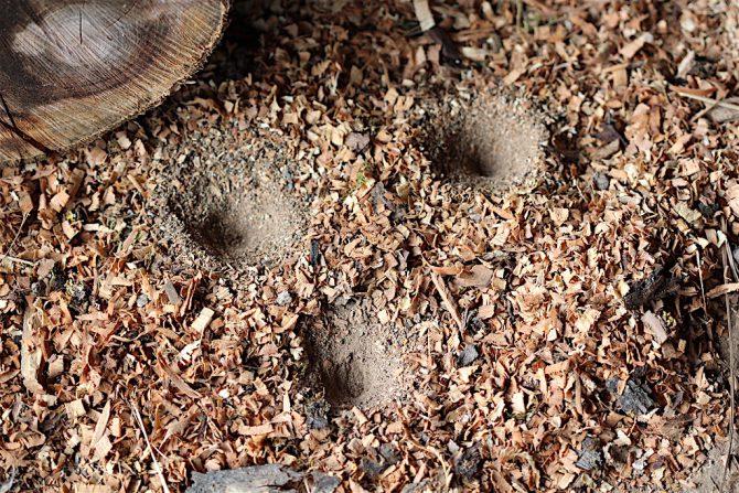 Ameisenlöwen
