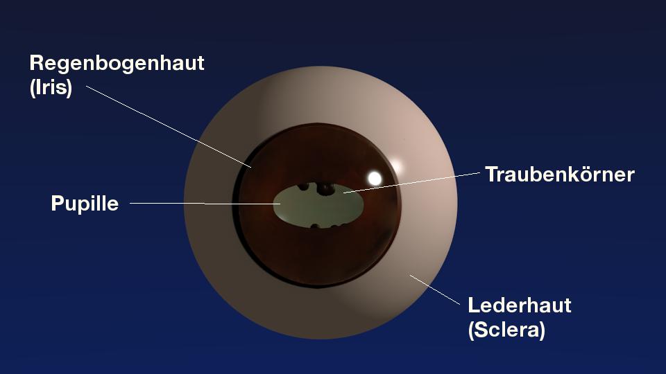 3D-Modell Auge