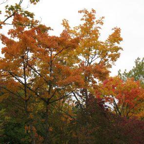 Ahorn im Herbstlaub