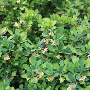 Berberitze Blüte