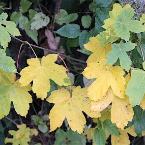 Bergahorn Herbstfärbung