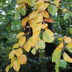 Buche Herbstlaub