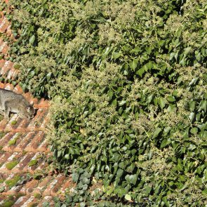 Efeu auf einem Dach
