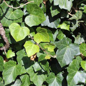 Efeu Blätter