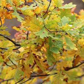 Eiche Herbstlaub
