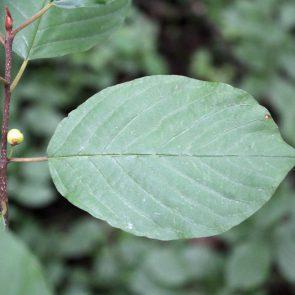 Faulbaum , Blätter und unreife Beeren