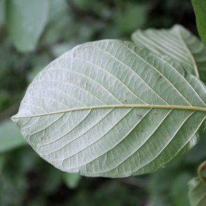 Faulbaum, Blattunterseite