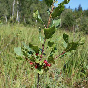 Faulbaum Beeren und Blueten