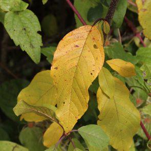 Faulbaum Herbst