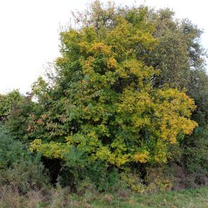 Feldahorn Baum
