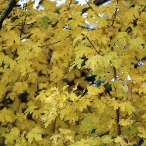 Feldahorn Herbstlaub