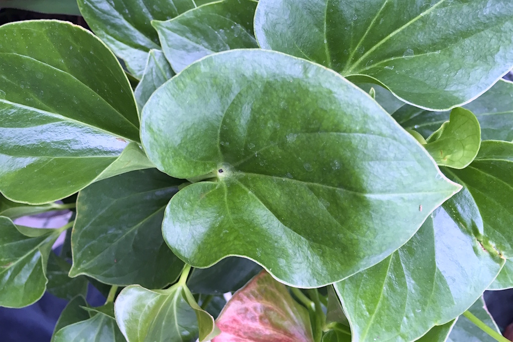 aronstabgew chse araceae xenophora. Black Bedroom Furniture Sets. Home Design Ideas