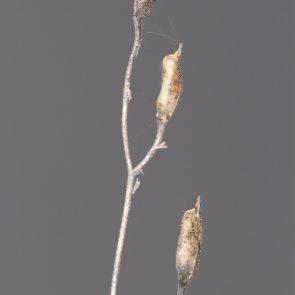 Garten-Rittersporn Balgfruechte