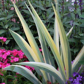 Iris zweifarbige Blätter