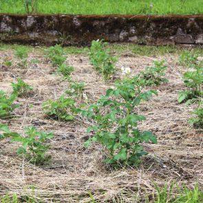Kartoffelacker klein