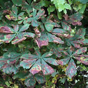 Kastanie Herbstfärbung