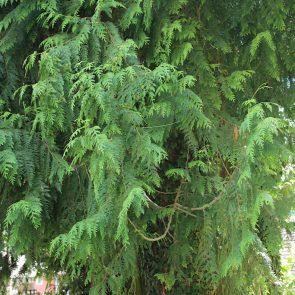 Abenländischer Lebensbaum