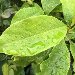 Magnolie Blatt
