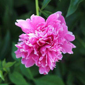 Pfingstrose gefuellt rosa
