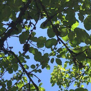 Purgier-Kreuzdorn Blätter