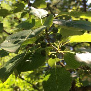 Purgier-Kreuzdorn Früchte unreif